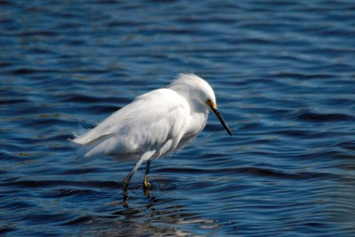 Snowy Egret at Merritt Is. NWR