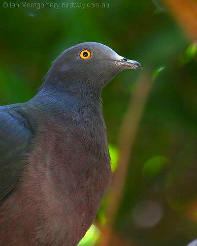 Christmas Island Imperial-Pigeon (Ducula whartoni) by Ian