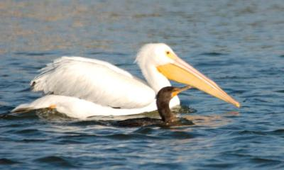 Cormorant and White Pelican Swimming together