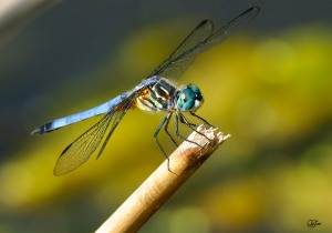 Dragonfly by QuyTran