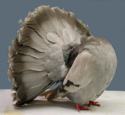 Fantail Pigeon ©WikiC