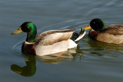 Mallards by Dan