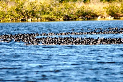 Hundreds of Coots at Merritt Is NWR
