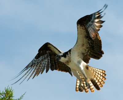 Osprey by Anthony