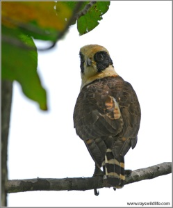 Laughing Falcon in Palo Verde National Park, Costa Rica by Ray