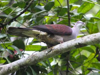 Mountain Imperial-Pigeon (Ducula badia) by Ian