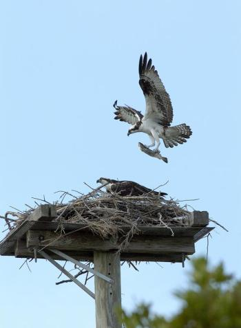 Osprey with Fish by Jim Fenton