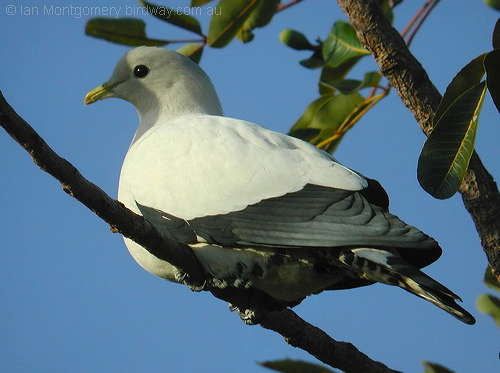 Pied Imperial-Pigeon (Ducula bicolor) by Ian