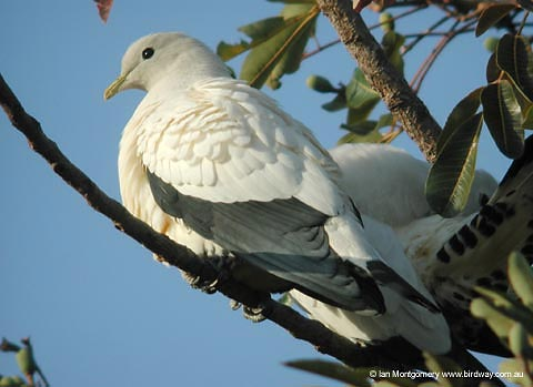 Pied Imperial-Pigeon(Ducula bicolor) by Ian