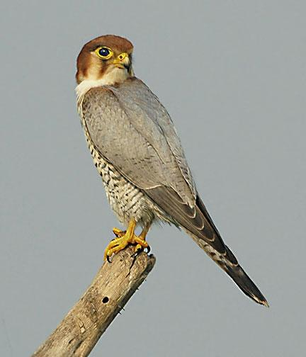 Red Necked Falcon From Wikipedia