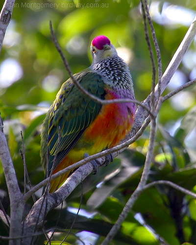 Bird of the Bible – Coat of Many Colors (4/4)