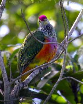 Rose-crowned Fruit Dove (Ptilinopus regina) by Ian