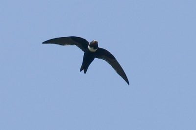 White-collared Swift from Wikipedia