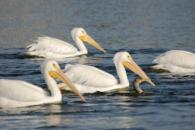 White Pelicans with a Cormorant by Dan