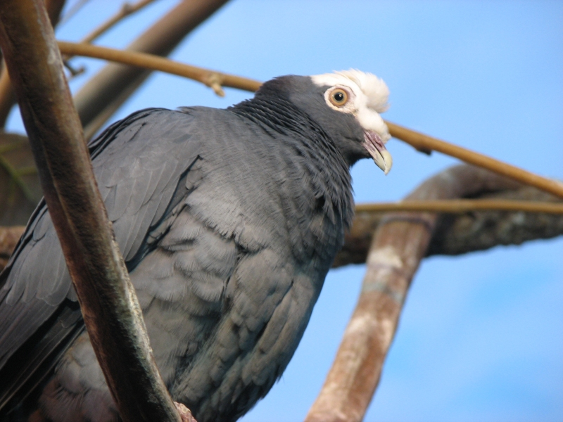 White crowned pigeon - photo#22