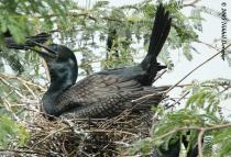 Indian Cormorant (Phalacrocorax fuscicollis) on nest by Nikhil