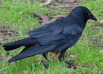 Australian Raven by Les Thurbon