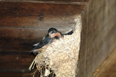 Barn Swallow by Dan Taken in a cabin in Smokies