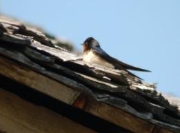 Barn Swallow by Dan