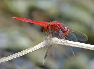 Dragonfly by Phil Kwong