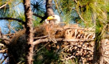 Eagle in nest feeding eaglets by Dan