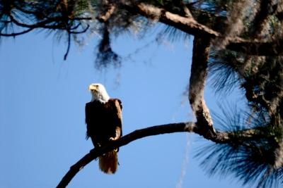Eagle in Tree on a windy day
