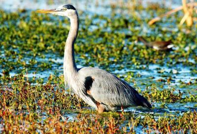 Great Blue Heron by Dan