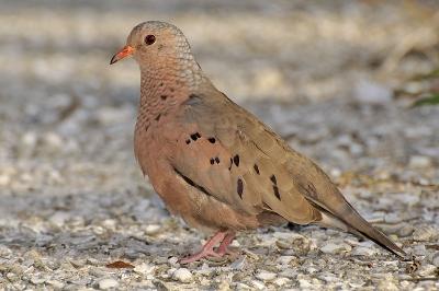 Ground Dove by Wildstock Photos