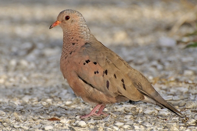 Ground Dove by Wildstock Photos