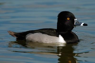 Ring-necked Duck (Aythya collaris) at Lake Morton by Dan