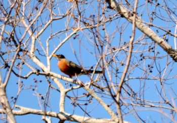 American Robin by Dan at Lake Howard