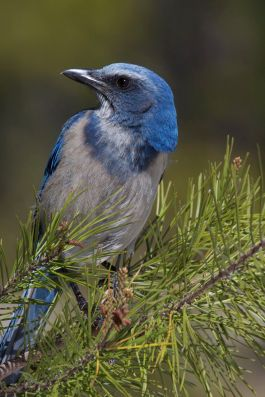 Scrub Jay by Mike Bader