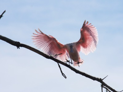 Roseate Spoonbill landing on branch by Mike Bader