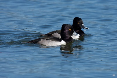 Ring-necked Ducks by Mike Bader