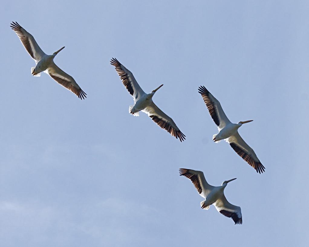 American White Pelican (Pelecanus erythrorhynchos) by Mike Bader