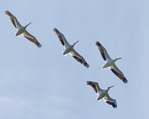 White Pelicans by Mike Bader