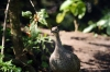 Elegant Crested Tinamou (Eudromia elegans) by Dan at Zoo Miami