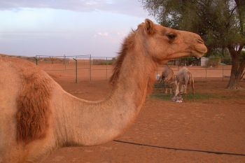 Camel Side Head Neck