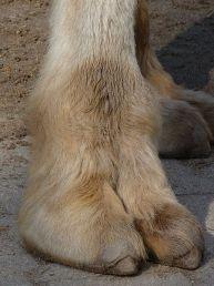 Camel - Foot