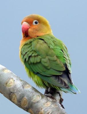 Fischers Lovebird by Phil Kwong