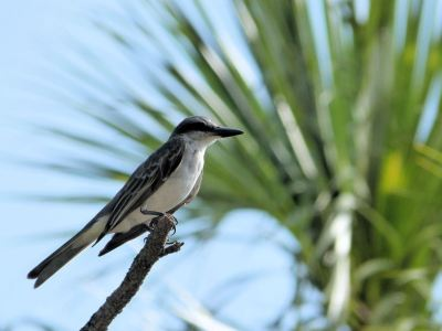 Grey Kingbird by Lee at Honeymoon Is SP 7-4-2014