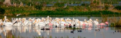 White Pelicans at distance with friends