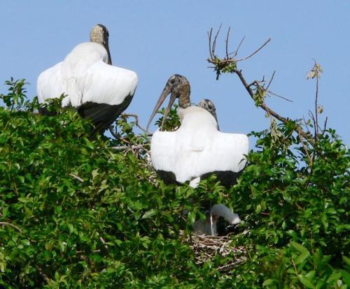 Storks Shadowing Baby in Lakeland by Dan