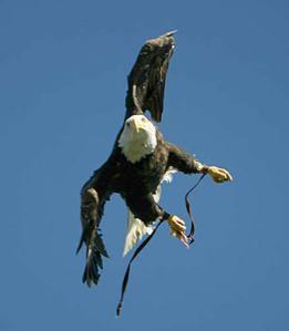 captive-eagle