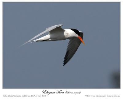 Elegant Tern by Ian Montgomery