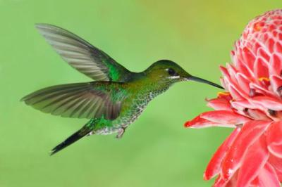 Green-crowned Brilliant by Wildstock photos