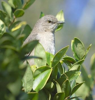 Northern Mockingbird Mimus Polyglottos By Dan
