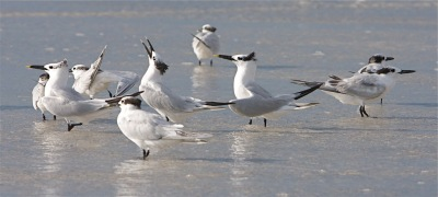 Sandwich Tern Singing (calling) By Mike Bader