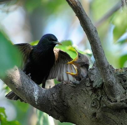 Starling feeding chicks