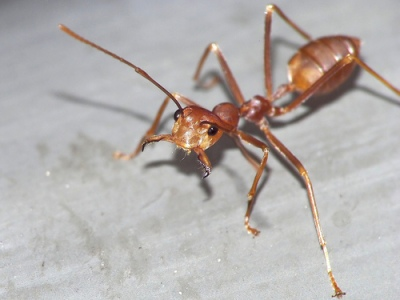 An Ant from CreationWiki